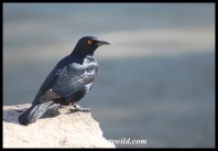 Pale-winged Starling