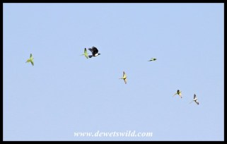Flock of Rose-ringed Parakeets mobbing a Pied Crow