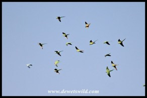 Flock of Rose-ringed Parakeets over Pretoria