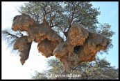 This Sociable Weaver nest near Twee Rivieren in the Kgalagadi Transfrontier Park may well be one of the biggest constructions by birds on the planet!
