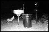 Jackal visiting our braai in Twee Rivieren (camera trap photo)