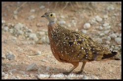 Burchell's Sandgrouse (male)