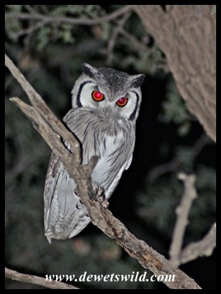 Southern White-faced Owl seen in Mata Mata