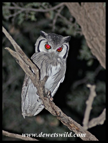 Southern White-faced Owl seen in Mata Mata