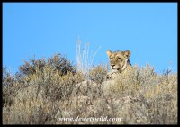 Lioness peaking over a ridge
