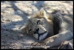Lion close-up