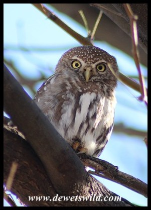 Pearl-spotted Owlet seen in Nossob