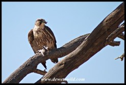 Lanner Falcon with prey