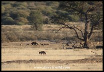 Brown Hyena and Black-backed Jackals on a carcass