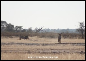 Lion watched by wildebeest
