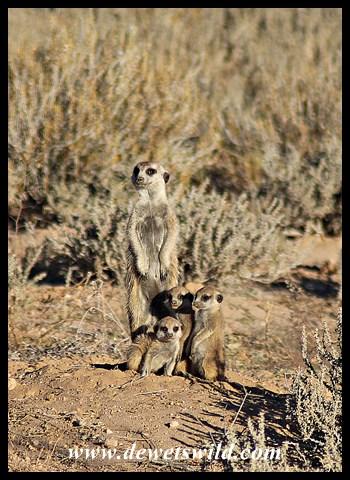 Meerkat Family (Suricates)