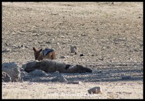 Black-backed Jackal eating from the carcass of a Spotted Hyena