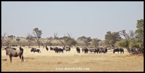 Large concentration of blue wildebeest at Langklaas waterhole