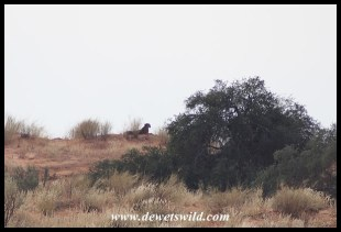 Cheetah on a distant dune
