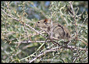 Four-Striped Grass Mouse
