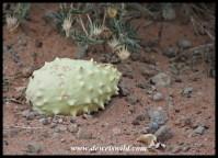 Gemsbok Cucumber