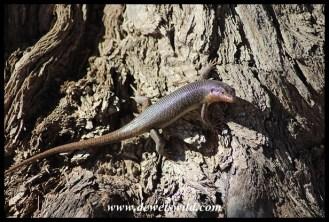 Karasburg Tree Skink