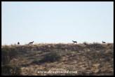 Kudu herd atop a dune