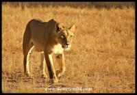Kalahari lioness