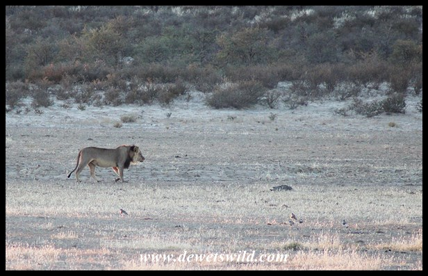Lion pacing the Nossob