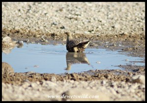 Namaqua Sandgrouse wetting his feathers to take water back to its chicks at the nest