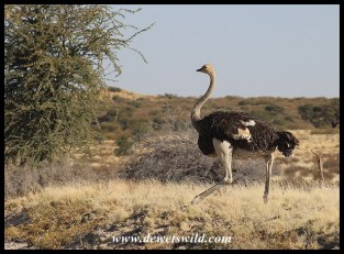 Ostrich male on the run