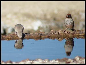 Red-headed Finch pair