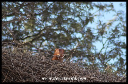 Slender Mongoose atop a Sociable Weaver nest