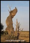 Tawny Eagle on a Sociable Weaver nest