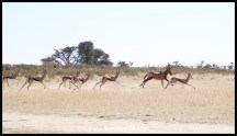 Springbok and Red Hartebeest fleeing