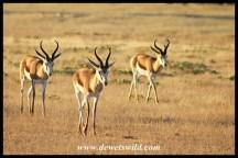 Springbok Rams