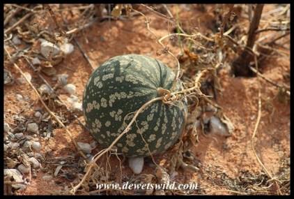 Tsama Melon