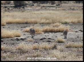 Warthogs near Grootkolk