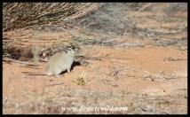 Brant's Whistling Rat