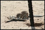 Ground Squirrel eating the carcass of a dove