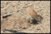 Ground Squirrel enjoying a dustbath