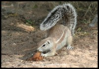 Vegetable matter, like this overripe fruit, is more the traditional food for Ground Squirrels