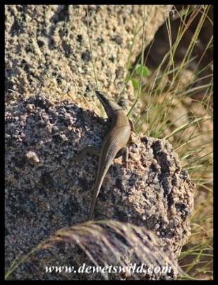 Western Rock Skink male