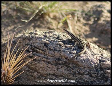 Western Rock Skink female