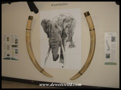 Letaba Elephant Hall - tusks of Kambaku