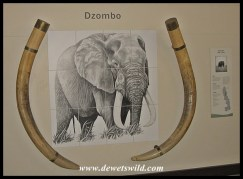 Letaba Elephant Hall - tusks of Dzombo