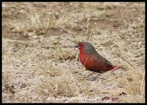 African Firefinch (male)