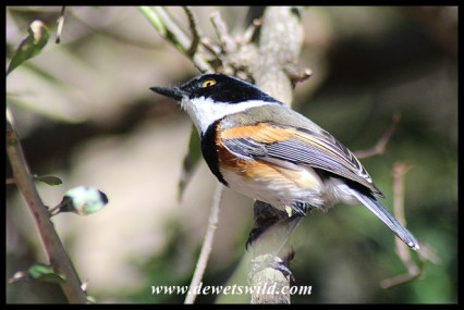 Cape Batis (male)