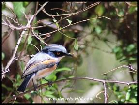 Cape Batis (male)