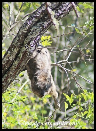 Acrobatic Rock Hyrax (Dassie)