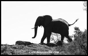 Elephant cresting a hill