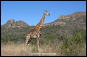 Iconic Ithala: Giraffe and Ngotshe Mountain