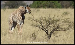 Giraffe calf nibbling on tender shoots
