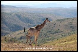 Giraffe at a gallop