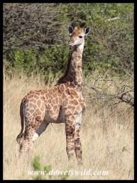 Newly born Giraffe calf